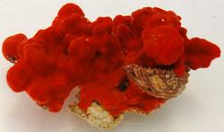 Red Knob Sponge