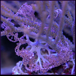 Basket Starfish