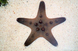 Chocolate Starfish