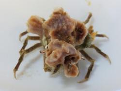 Lavender Sponge Crab