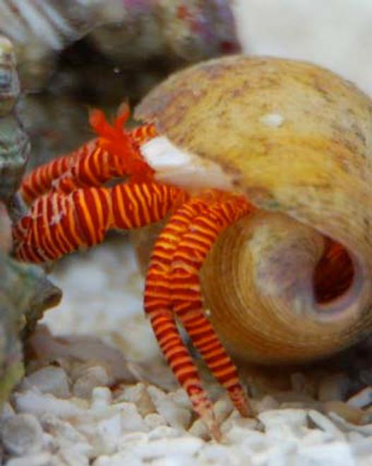 Halloween Hermit Crab