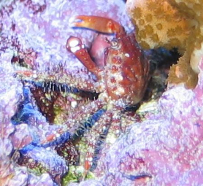Ruby Red Crab