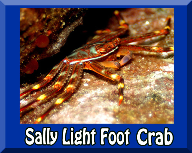 Saltwater Sally Lightfoot Crab