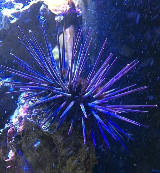 Black Rock Urchin