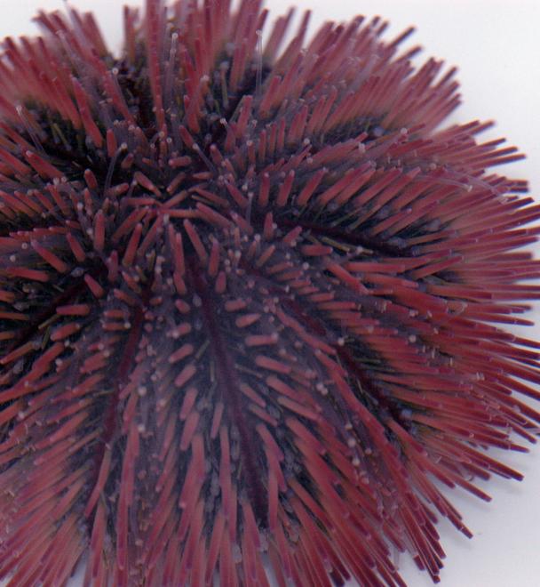 Pink Pin Cushion Urchin
