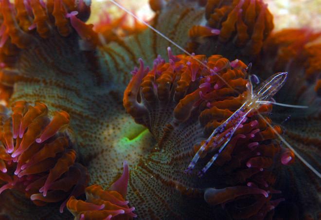 Pederson's Shrimp Cleaner aka Anemone Shrimp (Ancylomenes pedersoni)