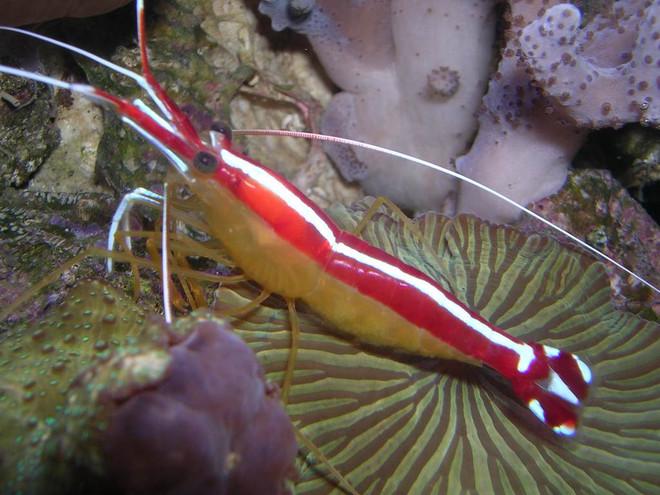 Cleaner Shrimp -Large