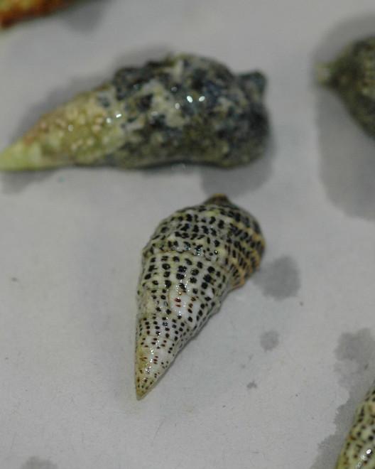 Cerithium sp