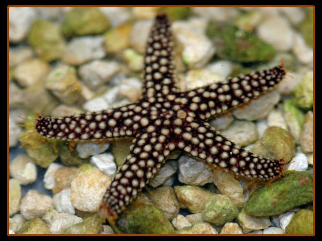 Yellow Conical Starfish
