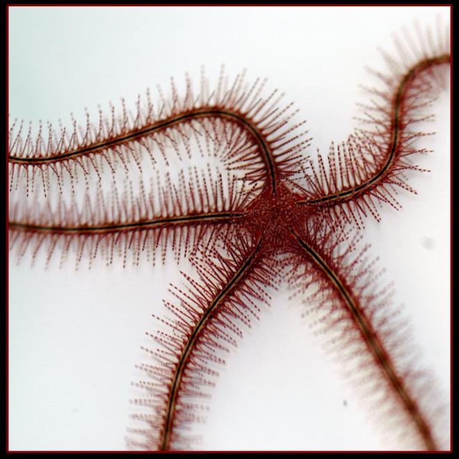 Red Sponge Brittle Starfish (ophiothrix suensonii)