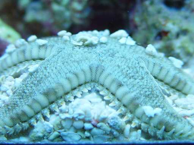 SandSifting Starfish