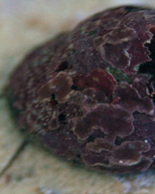 Pink Margarites pupillus Snail