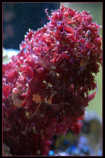 Beautiful Red Dragon Macro Algae Excellent for Nutrient Control in an Aquarium Macroalgae