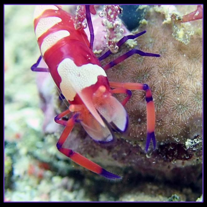 Emperor Shrimp (Periclimenes imperator)