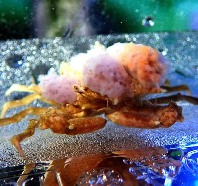 Purple Sponge Crab (Oregonia sp.)