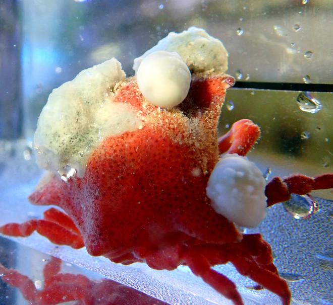 Red Sponge Crab (Oregonia sp.)