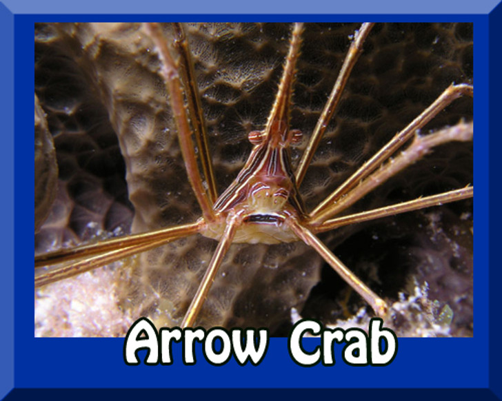 Saltwater Arrow Crab