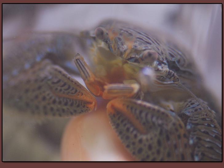 Saltwater Red Porcelain Crab