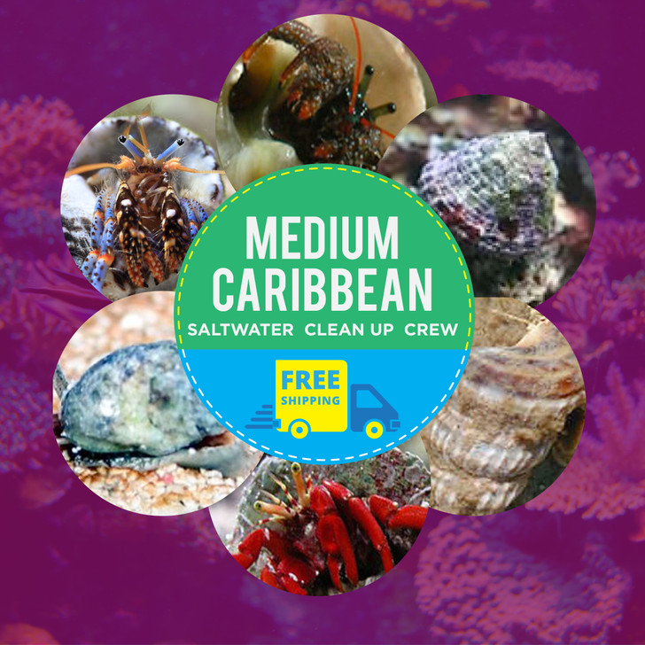 Medium Caribbean Saltwater Clean Up Crew-FREE shipping