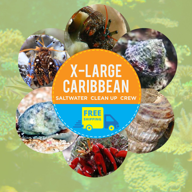 Extra Large Caribbean Saltwater Clean Up Crew
