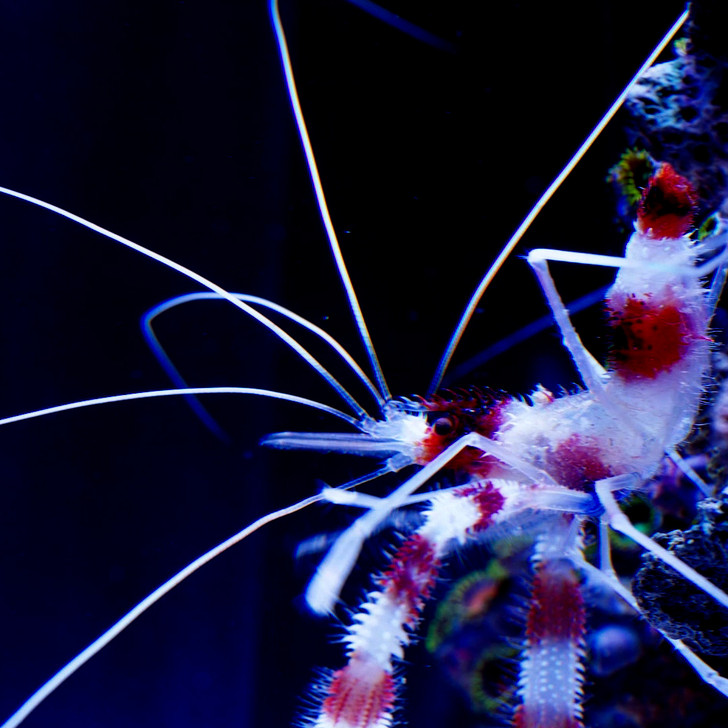 Coral Banded Shrimp (Stenopus hispidus)