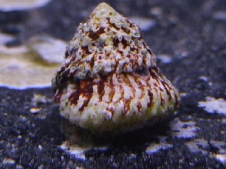 Astrea Snail (Turbo fluctuosa)