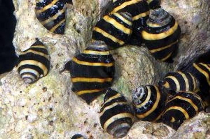 Bumble Bee Snail - (Engina sp.)