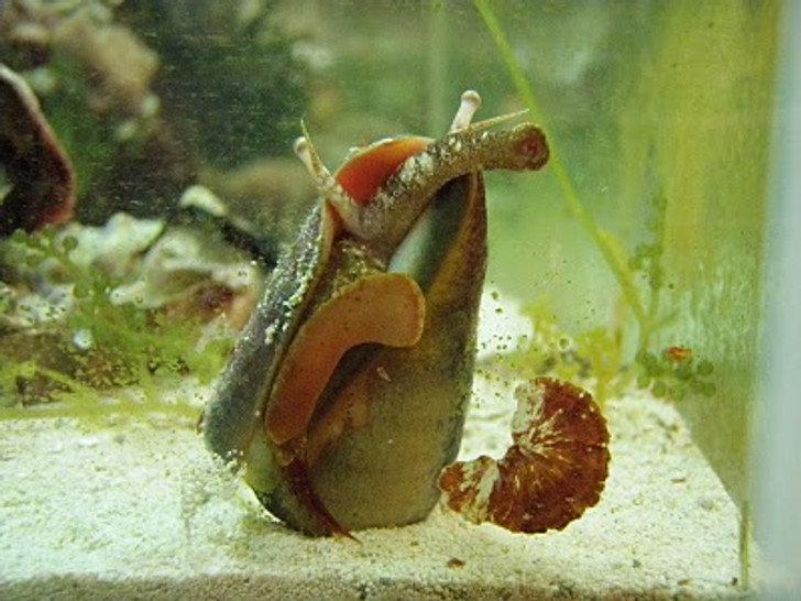 Tiger Sand Conch - (Strombus spp)