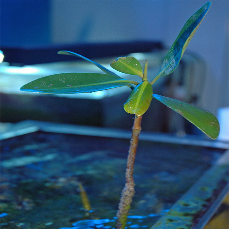 Saltwater Macro Algae Plant Mangrove Shoot  1080p