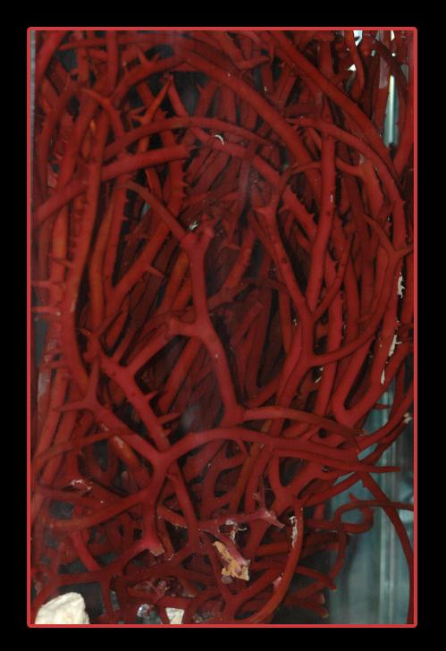 Red Saltwater Macro Algae Tree Gracilaria (Gracilaria sp) Excellent for Nutrient Control in an Aquarium