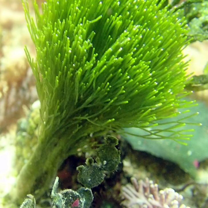 Green Saltwater Macro Algae Plant Shaving Brush  1080p