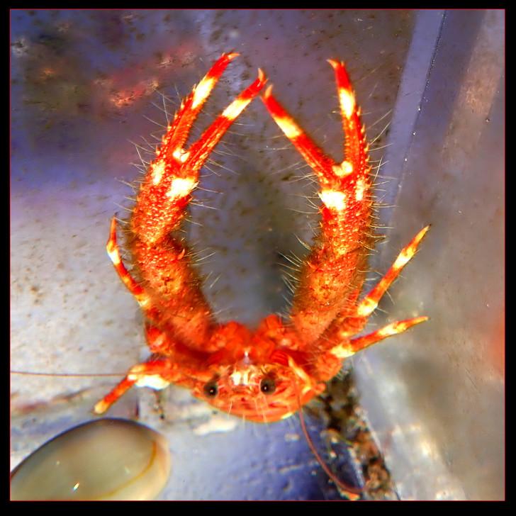 Squat Lobster (Munidopsis sp)