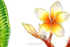 """White Plumeria, Botanical still life by Oksana Ossipov Copic markers on paper, 8.3 by 11.7"""". Close-up view 01."""