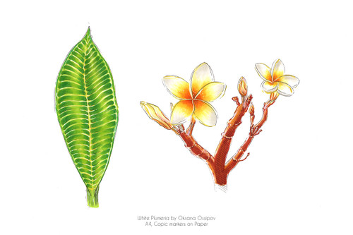"""White Plumeria, Botanical still life by Oksana Ossipov Copic markers on paper, 8.3 by 11.7"""". Full view."""