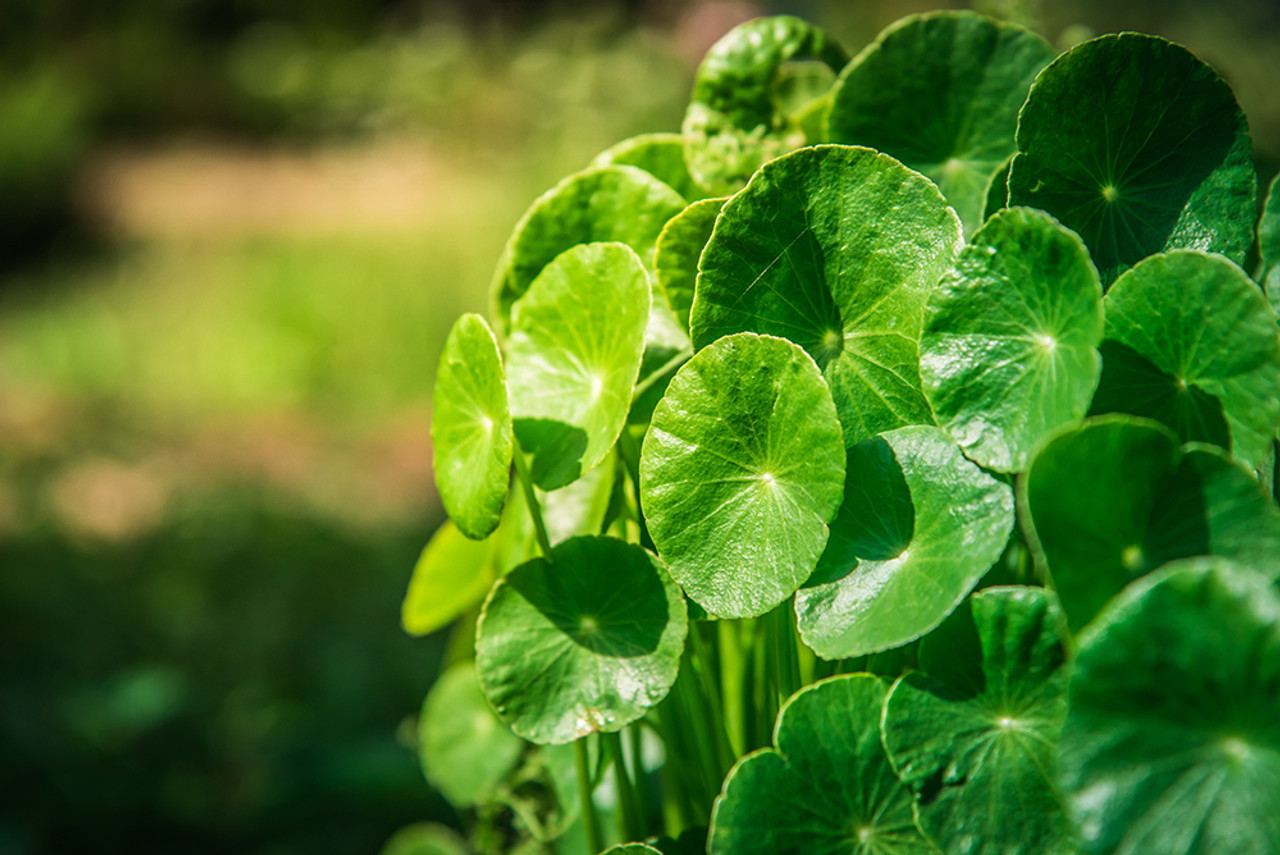 Gotu Kola:  The skin tightening herb with uses and benefits that increase collagen production and firmness