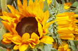 Sunflower Seed Oil is a Vitamin E powerhouse for healing skin and a perfect oil for sensitive skin
