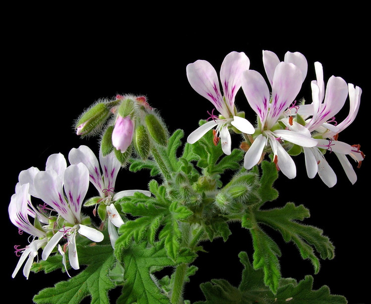 Egyptian Geranium Essential Oil