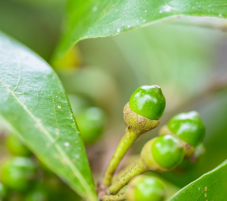 Litsea cubeba or may chang essential oil