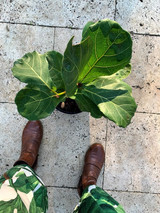 Fiddling with your fiddle leaf fig - the ultimate how-to tips on looking after these fickle beauties