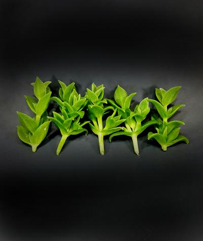Kanna plant cuttings  Sceletium tortuosum