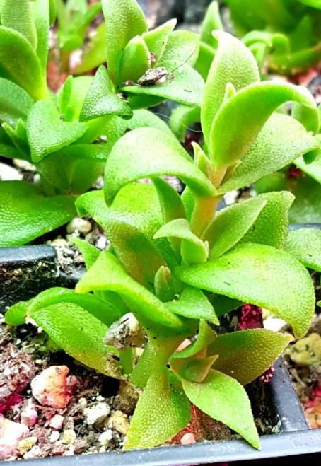 Kanna plant Sceletium tortuosum succulent plant