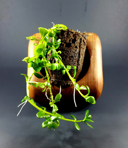 Brahmi Bacopa Monnieri plant