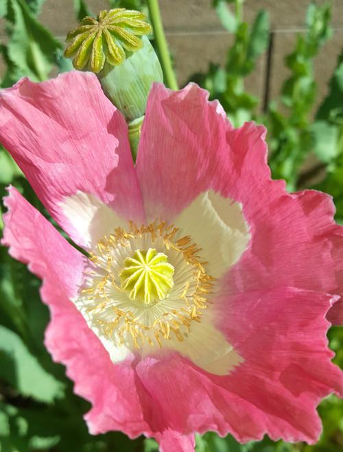 Afganistan special poppy somniferum