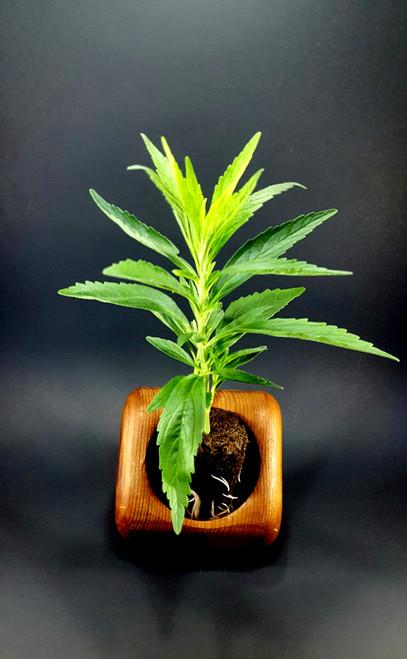 Wild dagga  Leonotis leonurus Plant