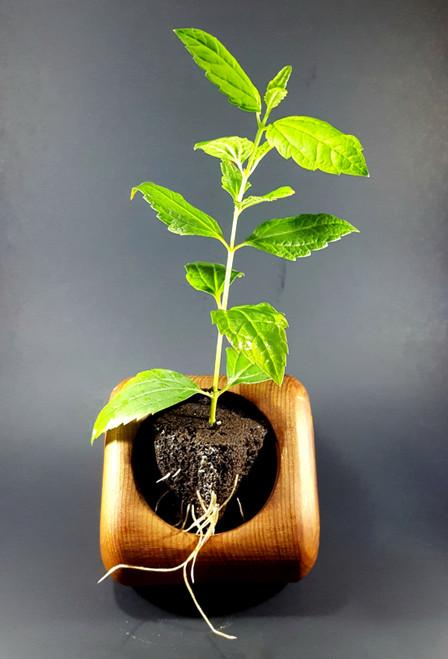 Calea zacatechichi plant