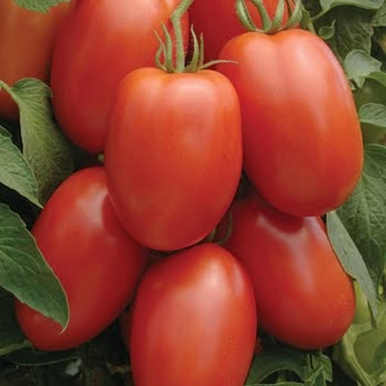 La Roma F1 Tomato Seeds