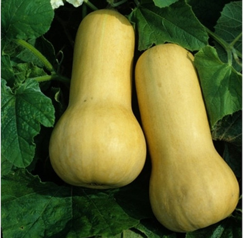 Early Butternut F1