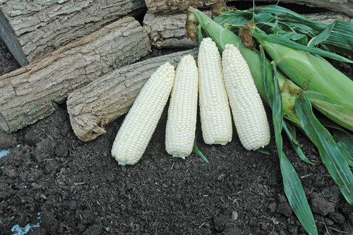 Xtra Tender 3473 F1 Sweet Corn