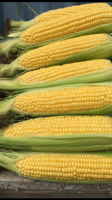Moonshine F1 Sweet Corn
