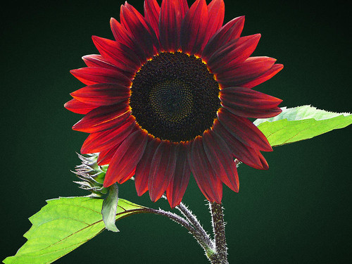 Chocolate Cherry Sunflower.